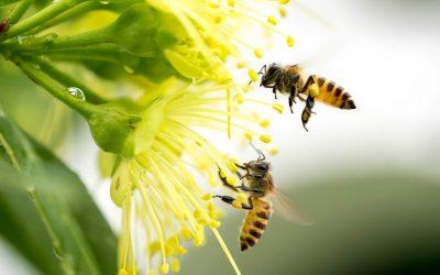 Kepunahan Lebah Menjadi Ancaman Besar bagi Manusia