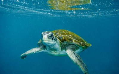 Enam dari Tujuh Jenis Penyu di Dunia Berada di Perairan Indonesia
