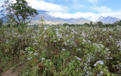 Di manakah Hamparan Bunga Edelweis Terindah di Indonesia?